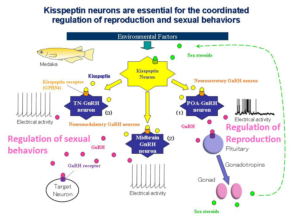 Kisspeptin Gnrh Neurons: Kisspeptin Neurons Are Essential For The Coordinated