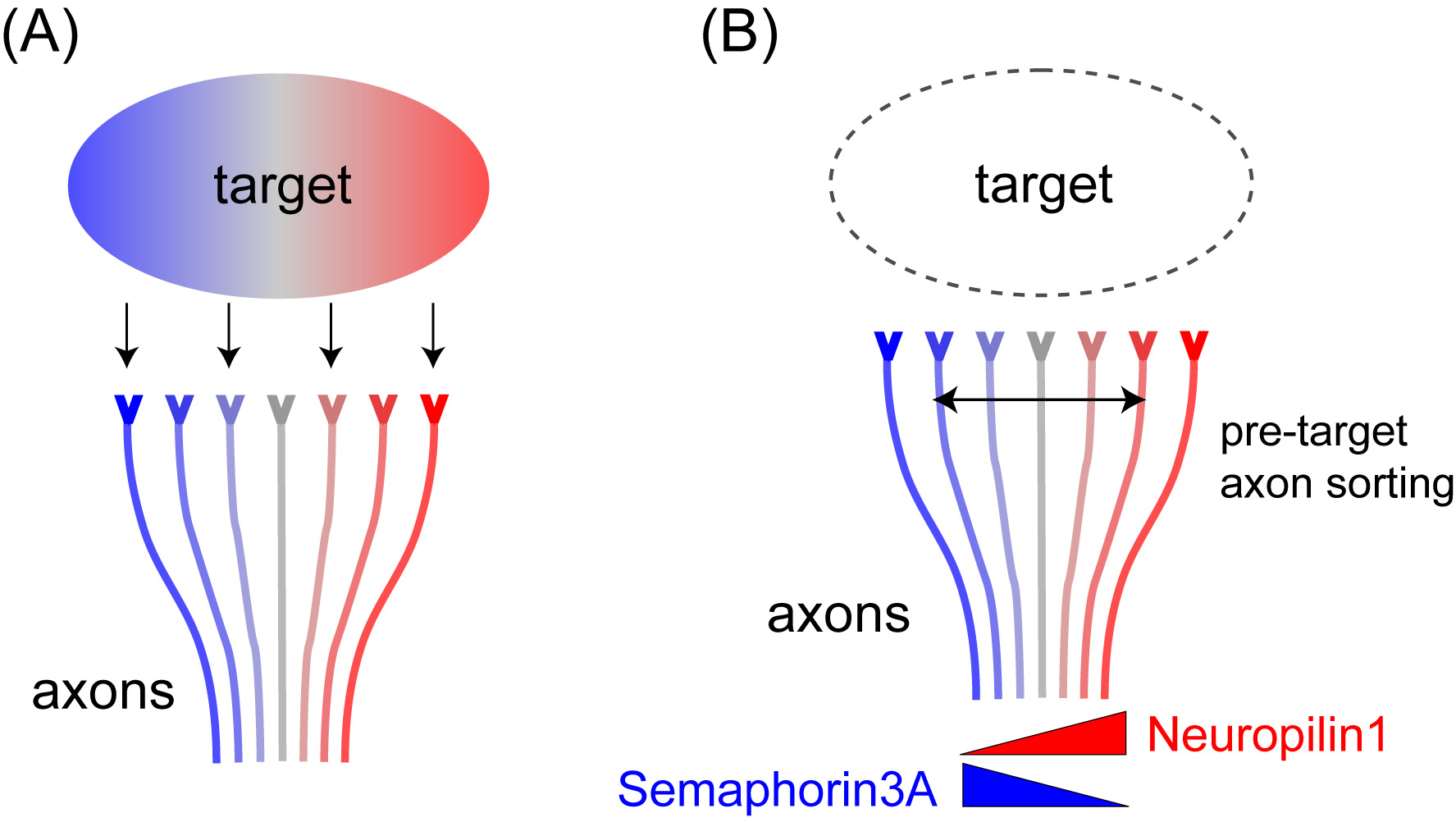 Neural Map Formation By Pre Target Axon Sorting Press Release