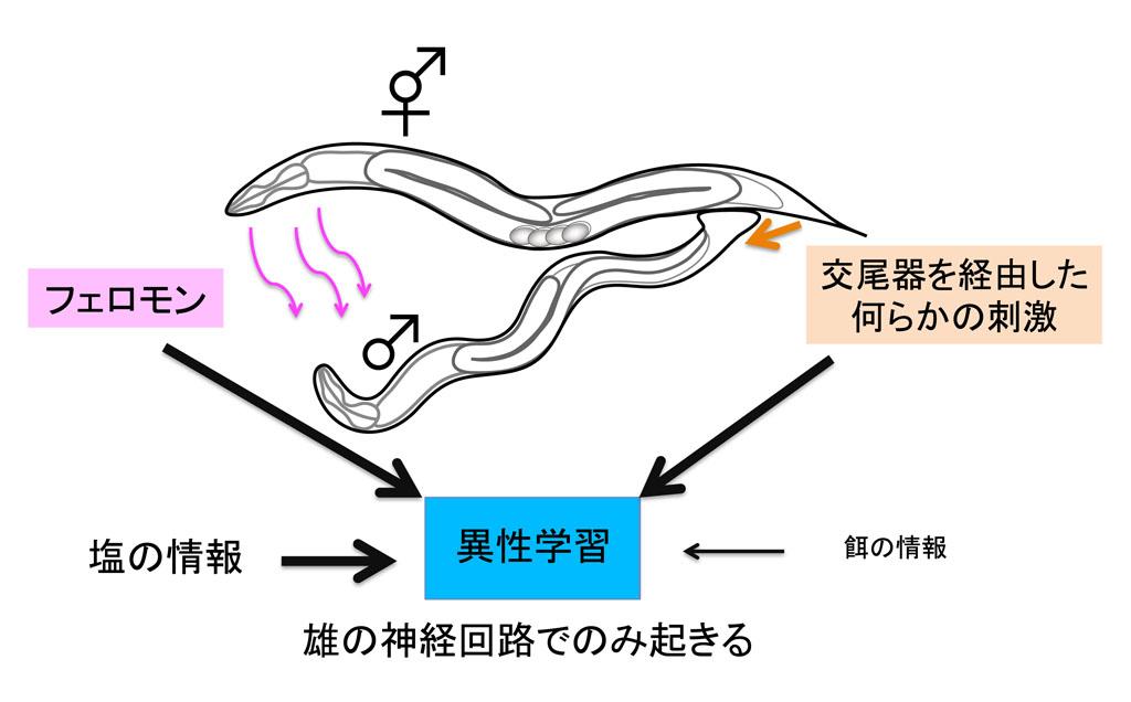 異性の存在に依存して線虫の雄が行う連合学習